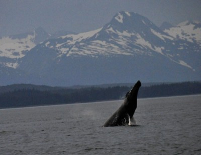 A whale breaching in Alaska - Science at Sea from Steve Spangler Science