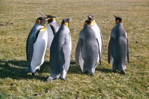 How Bombs Saved Penguins on the Falkland Islands.