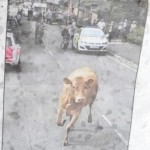 15/08/13 pic of man attacked by cow - walton, walton