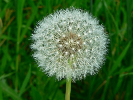 This is a dandelion clock.
