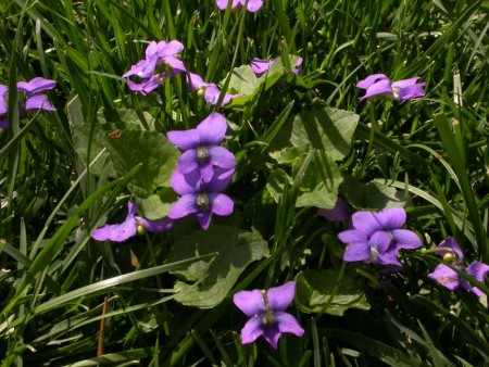 Little purple violets in the grass. . . .