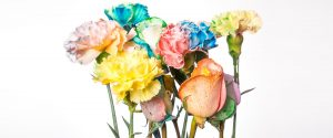 Color Changing Carnations Image