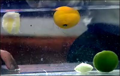 Floating Lemons And Sinking Limes Experiments Steve