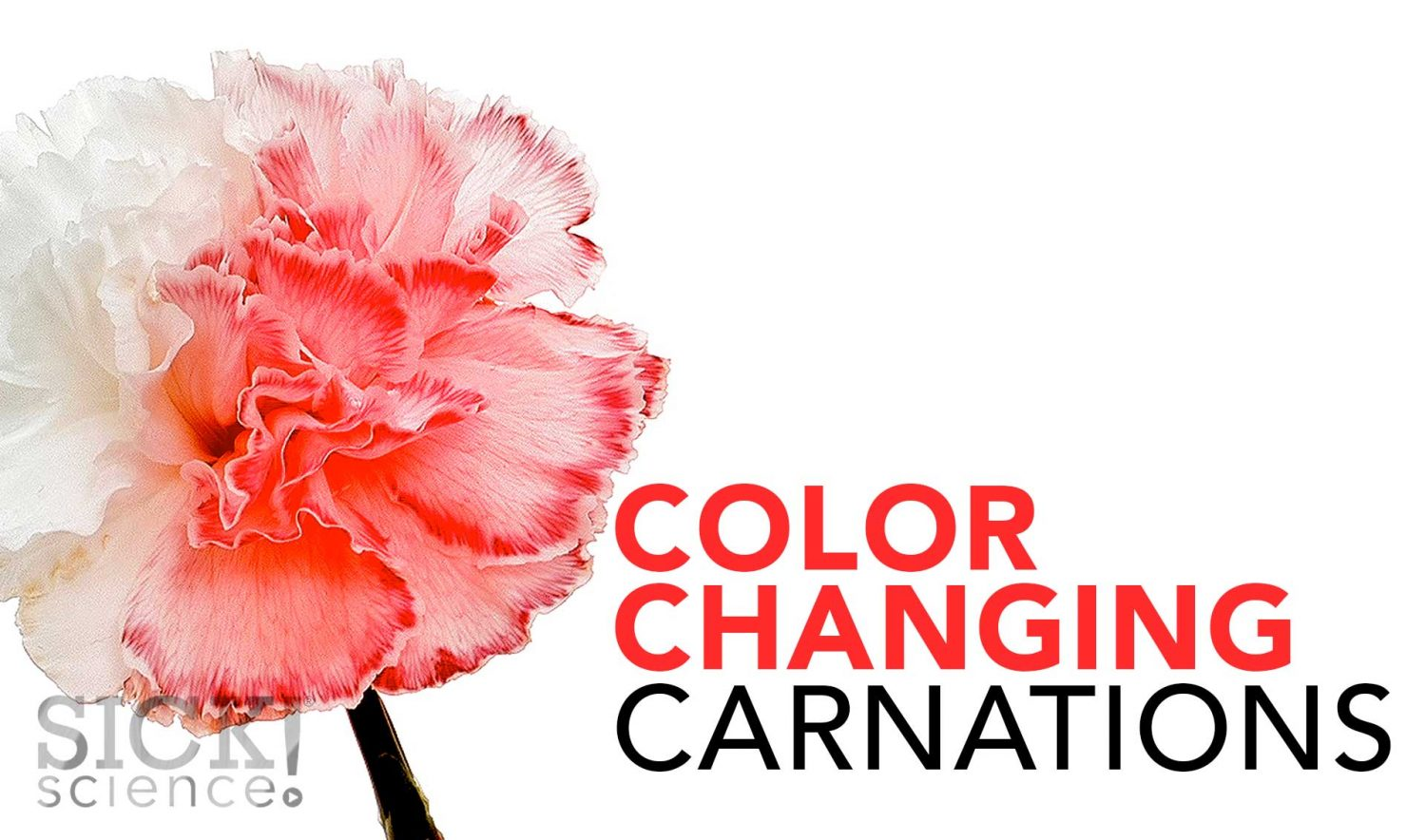 Color Changing Carnations Sick Science 020 Science